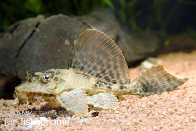 Pterygoplichthys gibbiceps zierfische for Zierfische welse